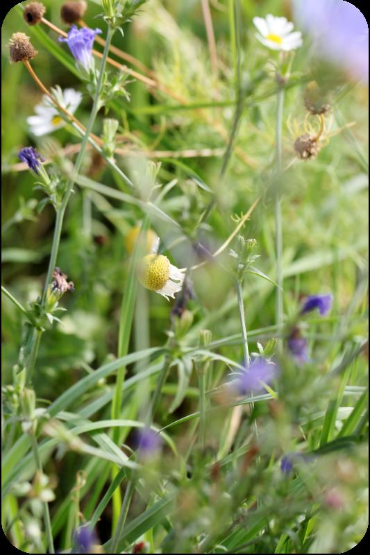 Feldblumen im Spargelfeld. Spargel im August - im Spargelfeld | Arthurs Tochter Kocht von Astrid Paul