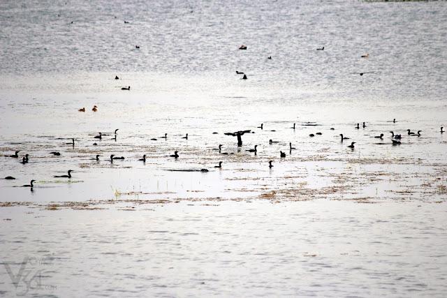 A gulp of Cormorants