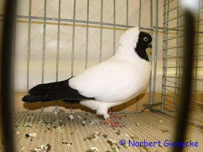 black head pigeons - nun