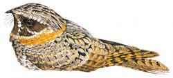 Buff collared Nightjar