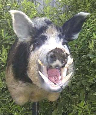 Hogwash? Hogs Vs Dogs, Kill The Dogs   Kill The Dogs