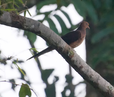 Little Cuckoo Dove (Macropygia ruficeps)