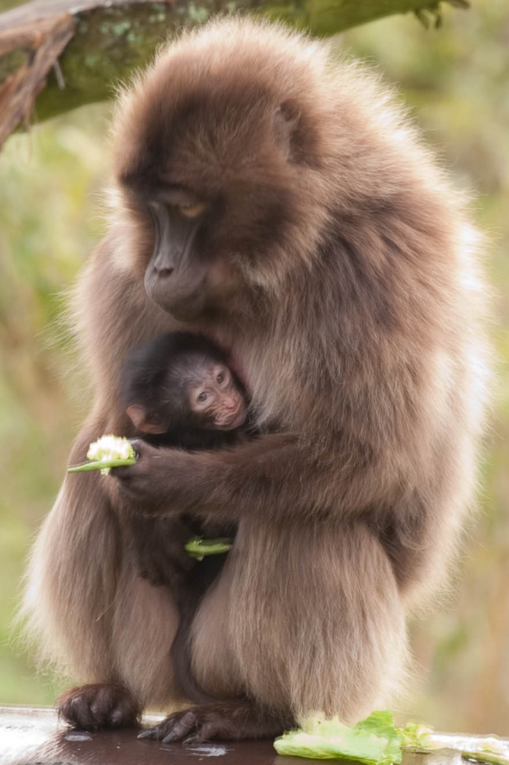 Baby Animals: Baboon infant 16