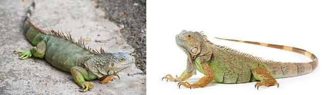 iguana-ne-yer