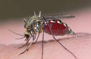 Mosquito - the cause of malaria