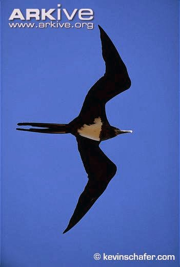 Ascencion Frigatebird