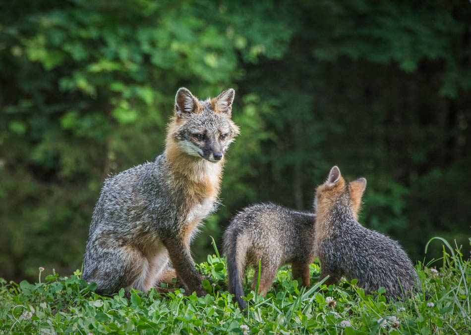 Female fox with kits