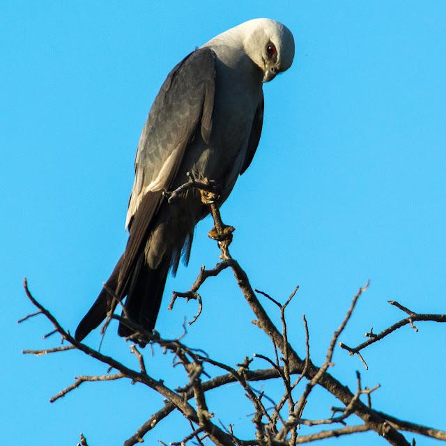 White-tailed Kite, Murrell Park