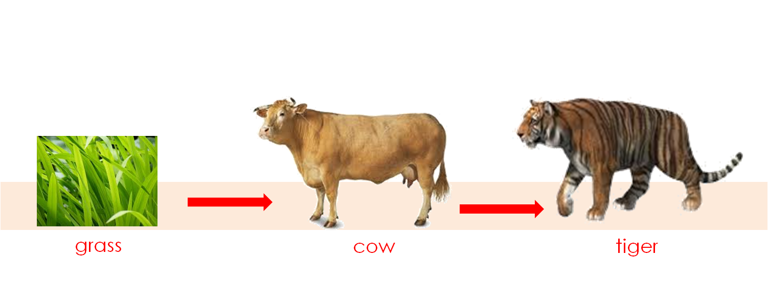 What Eats Cows In A Food Chain