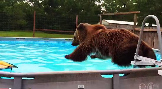 Urso nadador saltando na piscina