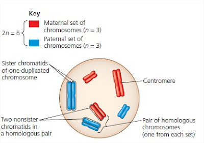 chromatids a in sperm Number of