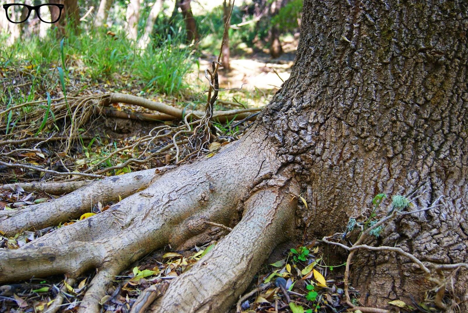Raíces árbol