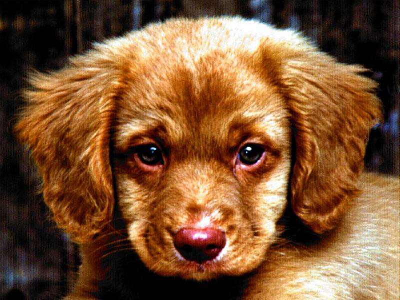 Cute Little Puppies Wallpapers Pappies Photos Download Photos