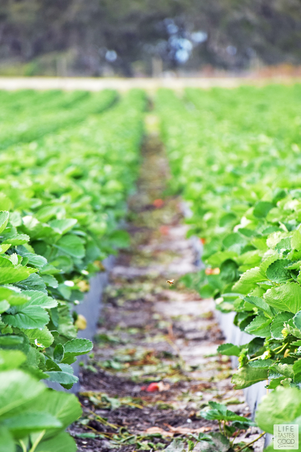 Florida Strawberry field
