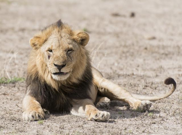 Löwen der Masai Mara, Kenia