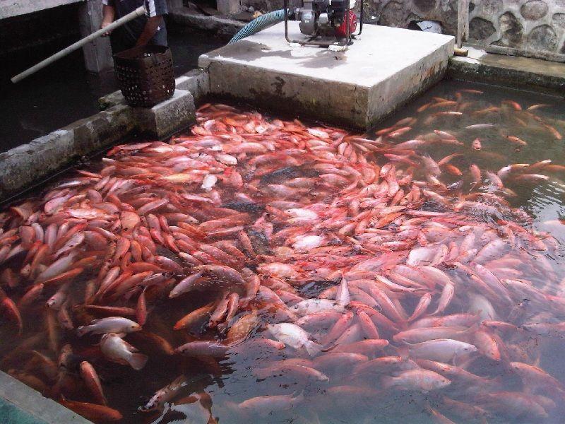 harga ikan nila merah