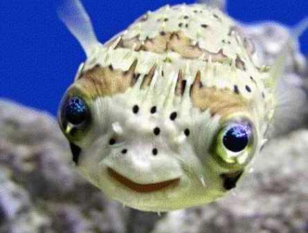 Inilah Sajian Ikan Fugu yang Nikmat Namun Mematikan