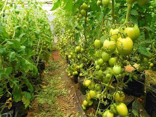 Method of greenhouse Soil sterilization in Kenya