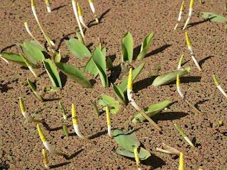 Oronce aquatique - Plante bougie - Orontium aquaticum