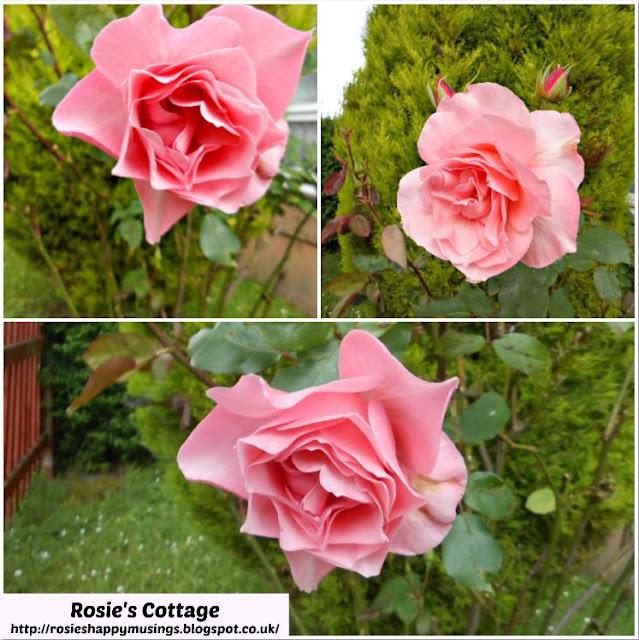 Gramma's Roses