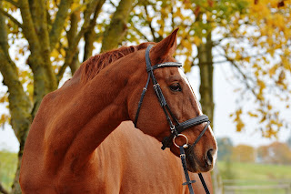 Chestnut horse wearing a bridle standing in front of a tree looking to the right.