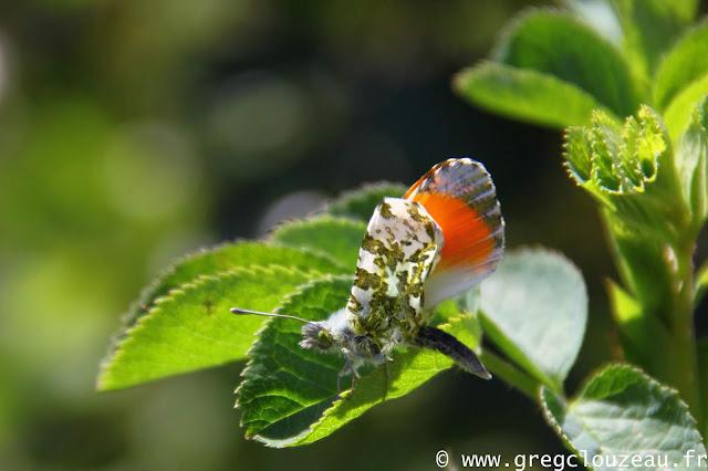 L'Aurore (Anthocharis cardamines), mâle