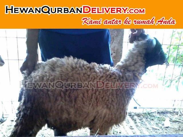 Kambing Qurban 2016 dan Domba Qurban 2016