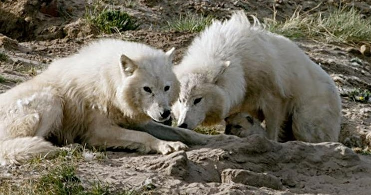 Two female Arctic wolves nursing pups together