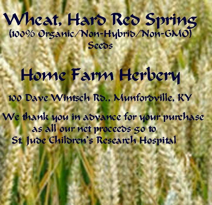 Wheat Hard Red Spring 100 Organic Non Hybrid Gmo Seeds For So Now