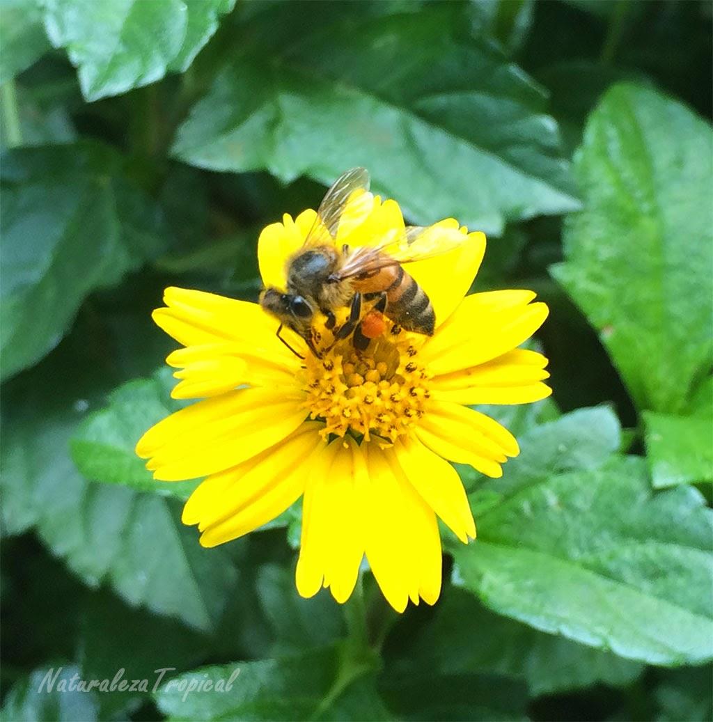 Flor del género Wedelia siendo polinizada por una abeja