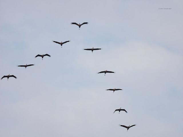 Die Vögel nutzen den Windschatten des Vorfliegers