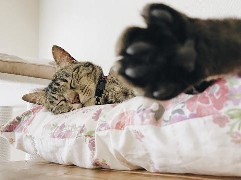 キジトラ猫の寝顔とぼやけた肉球