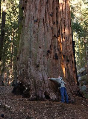 abbraccio-sequoia