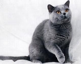 10 Ras Kucing Termahal di Dunia, Apakah Anda Punya Salah Satunya?