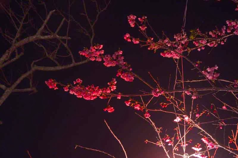 sakura flowers at night