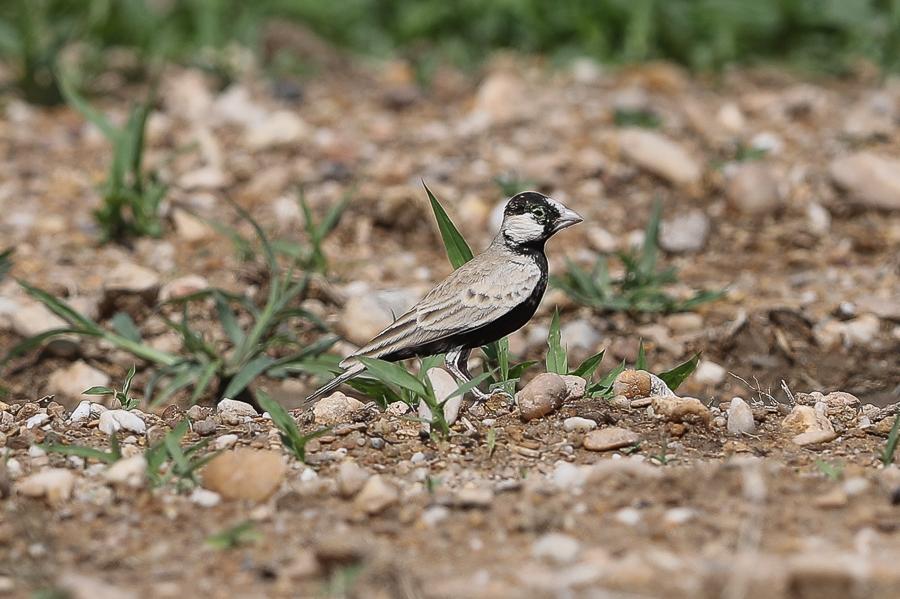 Black-crowned Sparrow Lark