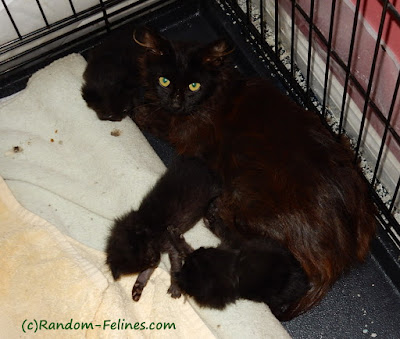 black cat with 3 black kittens