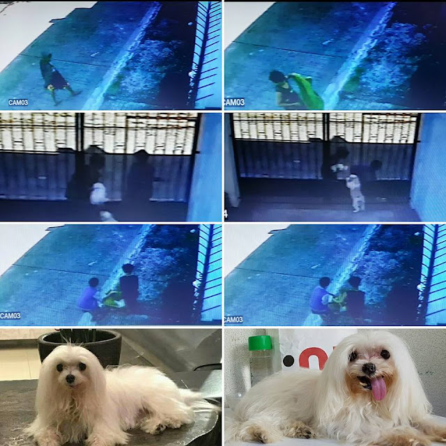 Caught on Cam: Two Boy in Laguna Stole This Maltese, Dog Owners Now Searching for Thieves. Must Read!