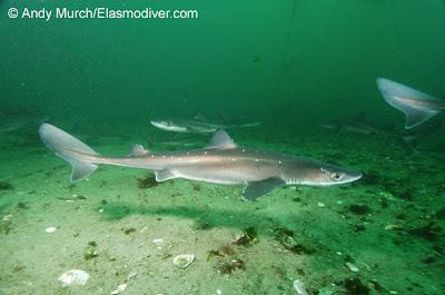 Tiburón espinoso Squalus acanthias