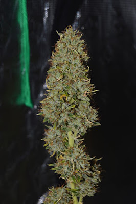 cannabis terpenos