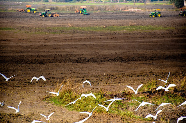 The ruddy paddy field lightened up with the white cranes and the tractors in the backdrop. @DoiBedouin