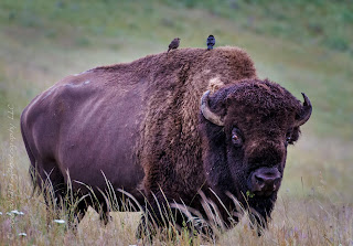 Bull Bison at Bison Range