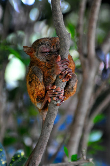 Encounter with Tarsier