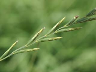 Roseau de Chine - Miscanthus sinensis - Eulalie - Miscanthus de Chine
