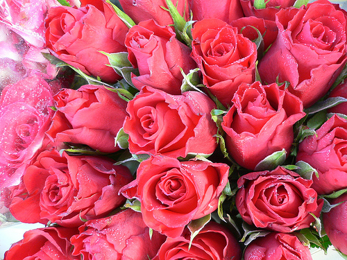 Wallpapers: Rainbow Roses,Bunch Of Roses, Red Roses