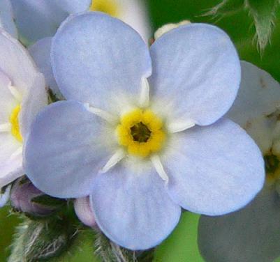 El Simbolismo Masonico De La Flor No Me Olvides El Blog Del Mason