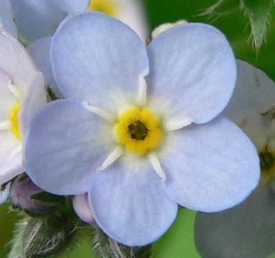 flor azul con amarillo no me olvides