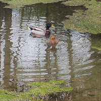 Male &  Female Mallard swimming in brook