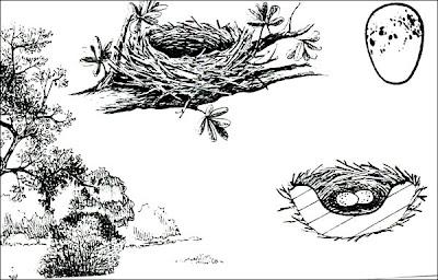 aves de Argentina Tuquito gris Empidonomus aurantioatrocristatus