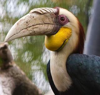 Wreathed hornbill - Rhyticeros undulatus - male